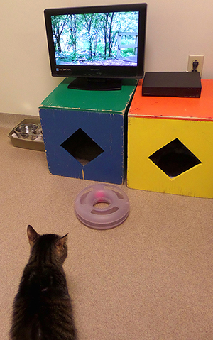 Chewpaca, a five-year-old domestic short-haired cat, watches nature scenes on his TV.