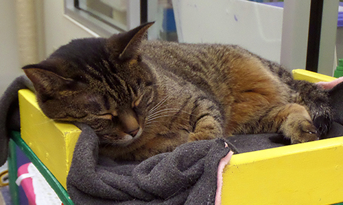 Sleeping cat at Oshkosh Area Humane Society